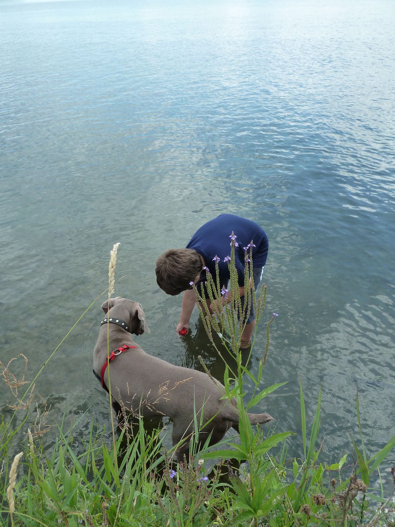 A boy and his dog playing in the water. Beauty In Nature Boy Boyanddog Day Dog Love Eyemdog Grass High Angle View Lake Lakeshore Nature Outdoors Tranquil Scene Tranquility Water Waterreflection Weimaraner Weimaranerlove Weimaraners