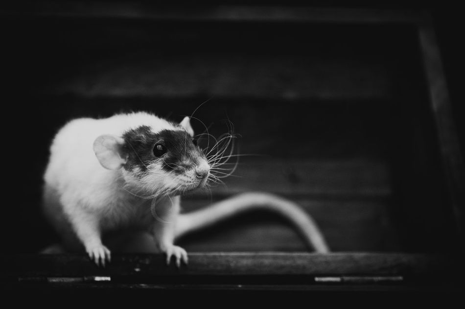 Beautiful stock photos of rat, Animal Themes, Animal Wildlife, Animals In The Wild, Close-Up