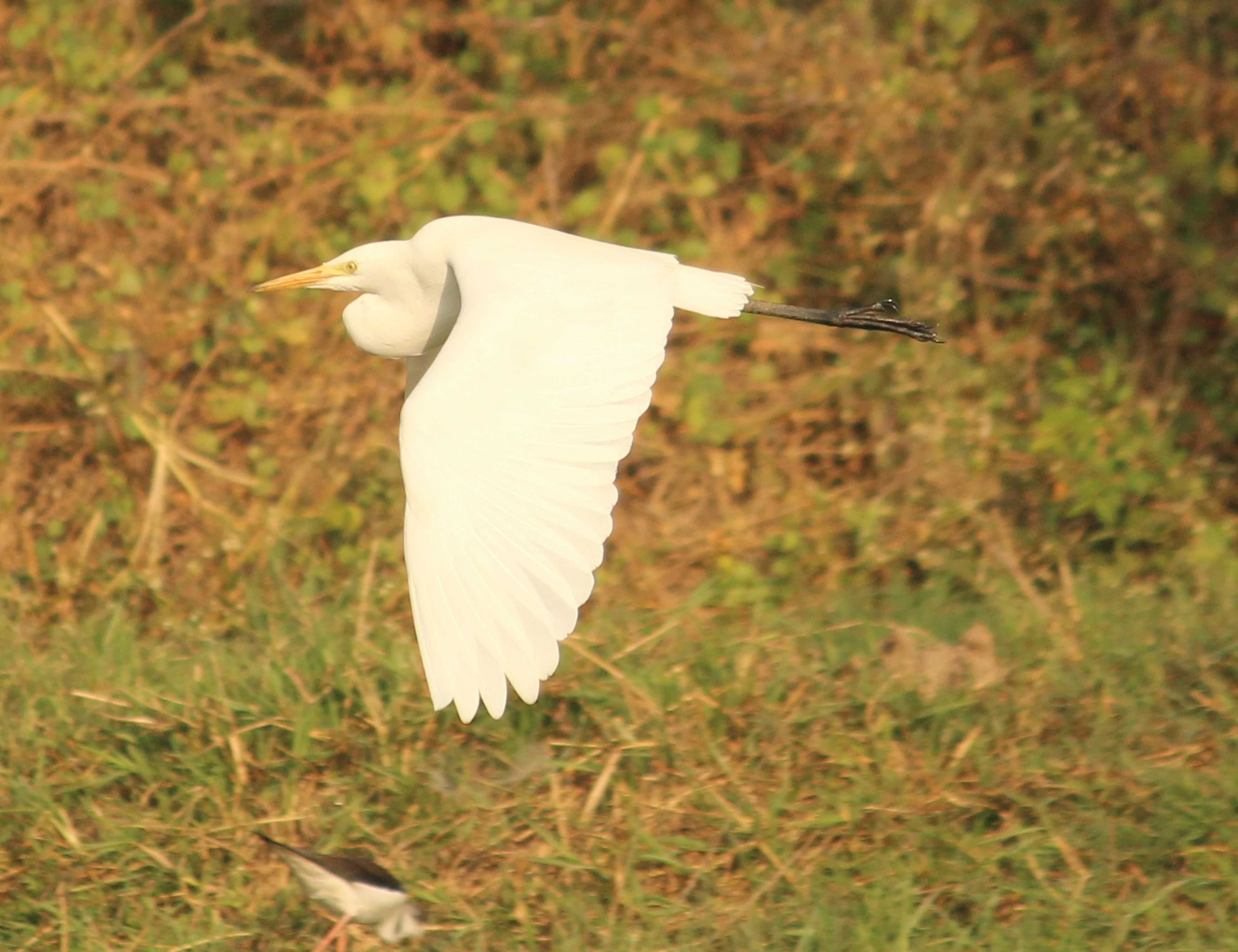 bird, animal themes, grass, one animal, animals in the wild, wildlife, field, focus on foreground, close-up, nature, white color, day, outdoors, grassy, mushroom, beauty in nature, no people, feather, full length, selective focus