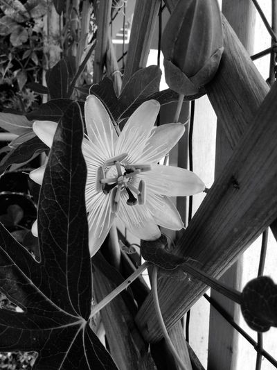 Flowers Passionflower Garden Garden Photography Nature Nature_perfection Blackandwhite Blackandwhite Photography Eden Mypersonaleden EyeEm Nature Lover EyeEm Flower