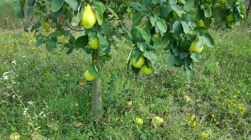 Eyem Nature Lover Quince Quince Time Quince Tree Yellow And Green Nature Non-urban Scene Beautiful Nature