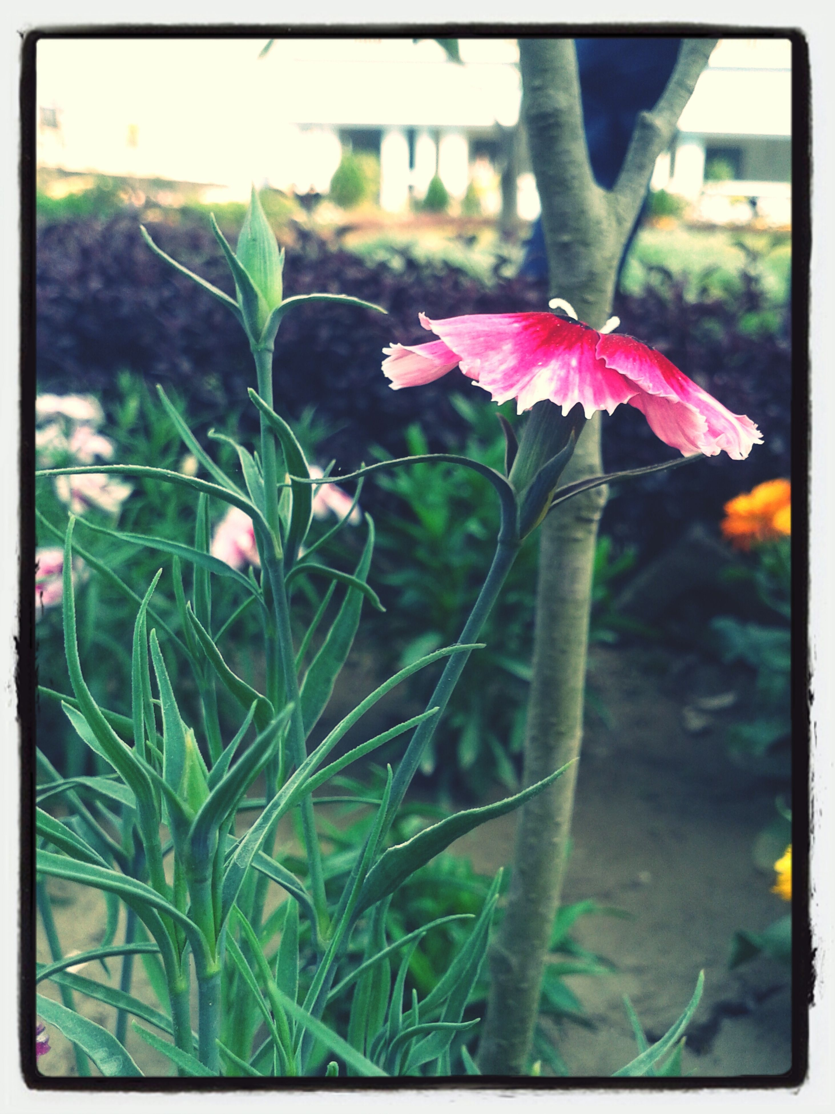 transfer print, flower, growth, focus on foreground, auto post production filter, close-up, plant, fragility, freshness, petal, nature, beauty in nature, leaf, selective focus, day, park - man made space, front or back yard, blooming, stem, outdoors