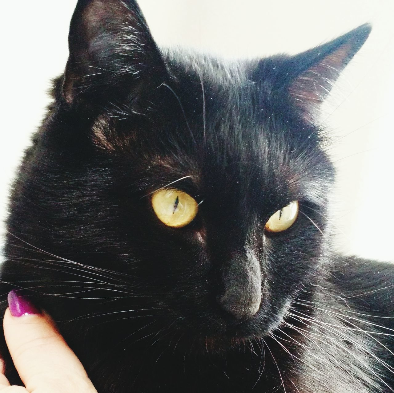 Pets Domestic Animals Mammal Domestic Cat Animal Themes One Animal Feline Indoors  Human Body Part Close-up Yellow Eyes Human Hand One Person Day People Black Cats Are Beautiful Black Cat Beauty In Nature Cat Lovers Black Cat Photography Cats Of EyeEm Cat♡ Cat Gaze Portrait Sunlight