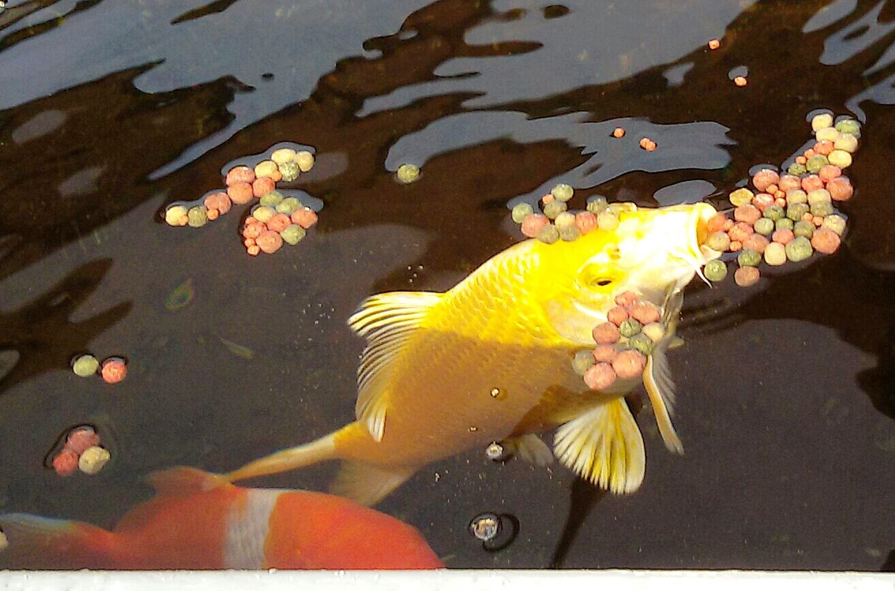 Outdoor Koi Koi Fish Schmuckstück💕 Eyeen Best Shots Taking Photos Essence Of Summer Eyemphotography Eye4photography  Hello World Iphonephotography Yellow Color Water Reflections Water Teich Fütterung  💕🐠🐟