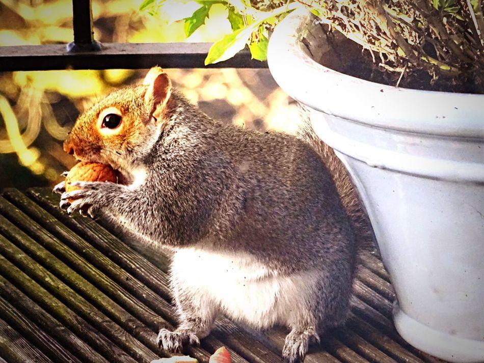 Grey Squirrel A Squirrel My Squirrel Squirrel Closeup Squirrel Friend  Squirrel Loves Nuts Squirrel Eating Squirrel! The Photojournalist - 2015 EyeEm Awards