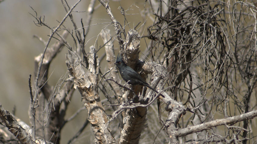 male Phainopepla Animal Themes Animals In The Wild Arid Climate Bird Branch Close-up Focus On Foreground Growing Leaf Nature No People One Animal Perching Phainopepla Rough Selective Focus Stem Twig Wildlife Winter Zoology