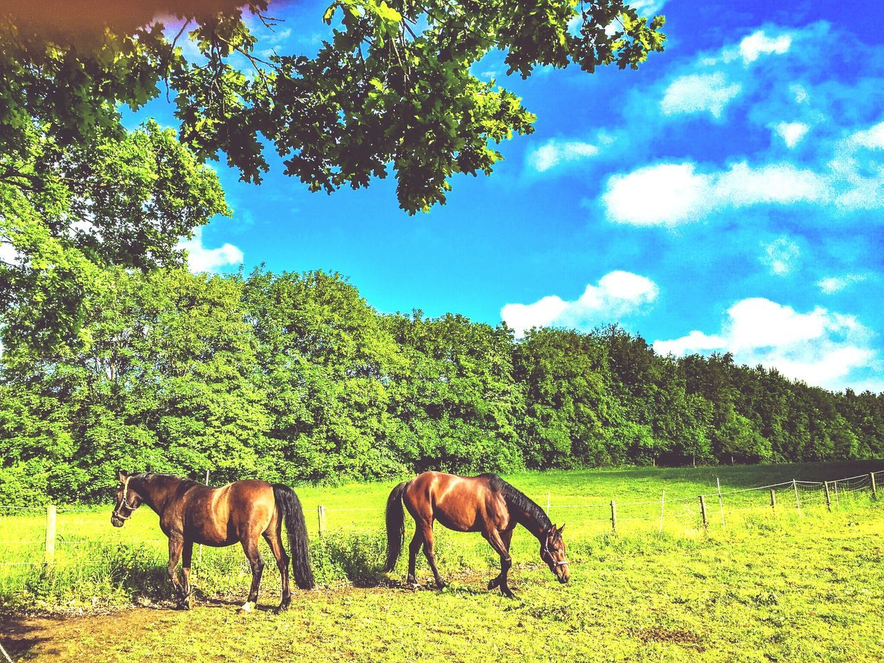 tree, horse, mammal, field, animal themes, nature, domestic animals, sky, tranquility, day, green color, grazing, grass, landscape, growth, livestock, outdoors, no people, beauty in nature