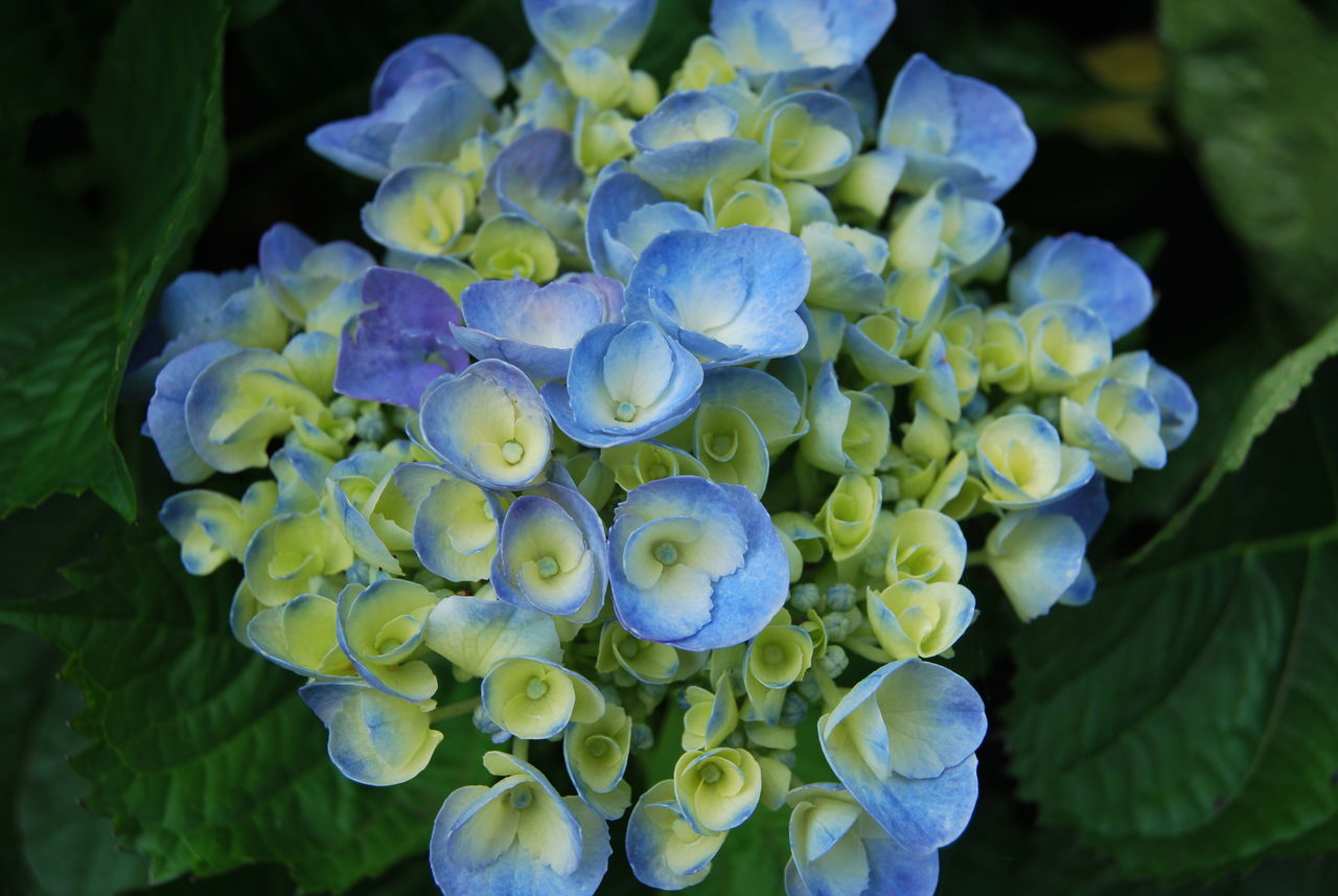 Close-Up Of Fresh Blue Flowers Blooming In Park