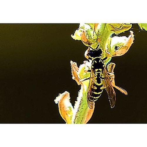 Hornet on a backlit stem. Hornet Bees Wasp Bugslife Nature Insect Exposure Outdoor Flowerstalking Capture Fotographia NatureIsBeautiful Nature Flowers Summer Nature Details Macro Macroworld Macroworld_tr Macro_freaks Macrophotography Picture Beeporn