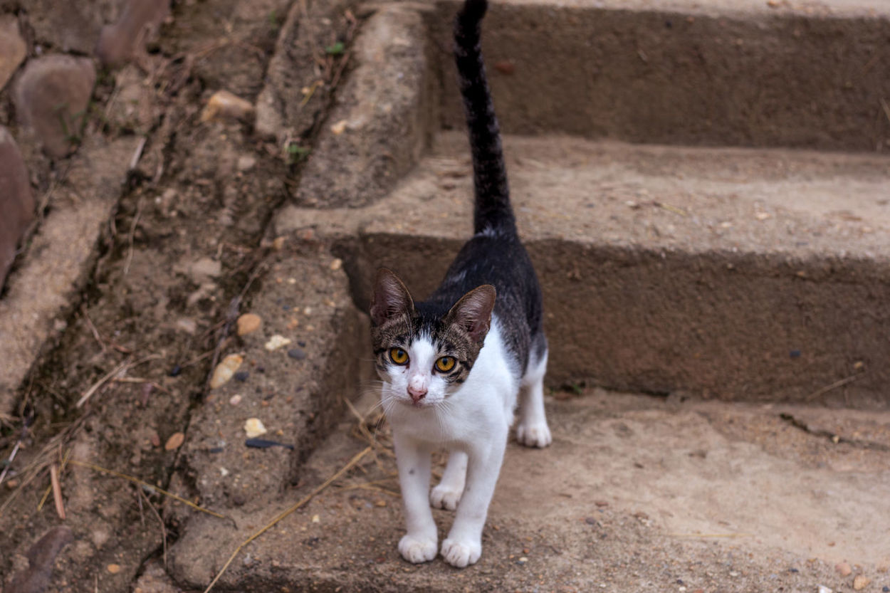 A young cat / kitten staring directly at the camera whilst on a set of concrete stairs. Animal Themes Cat Concrete Day Domestic Animals Domestic Cat Feline Full Length High Angle View Kitten Looking At Camera Mammal No People One Animal Outdoors Pets Portrait Pussycat Stairs