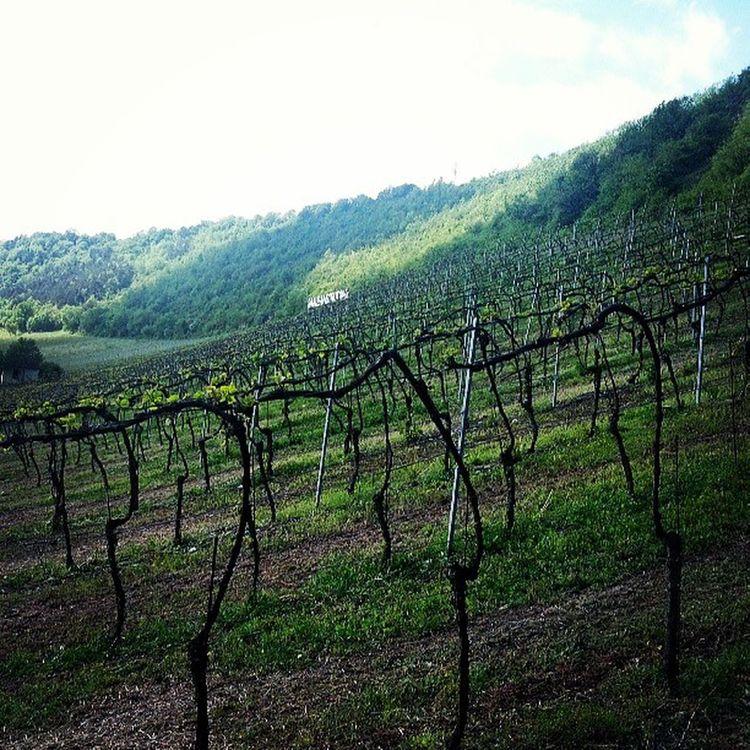 Weinberge Weinberg Weinanbau Vineyards  Badk ösen