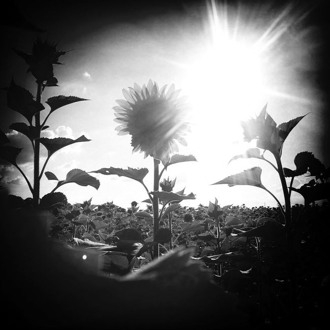 Blackandwhite Sunshine Sunflower