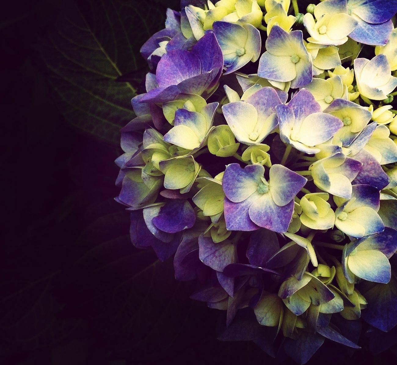 Hydrangea Flower Porn Nature_collection EyeEm Nature Lover