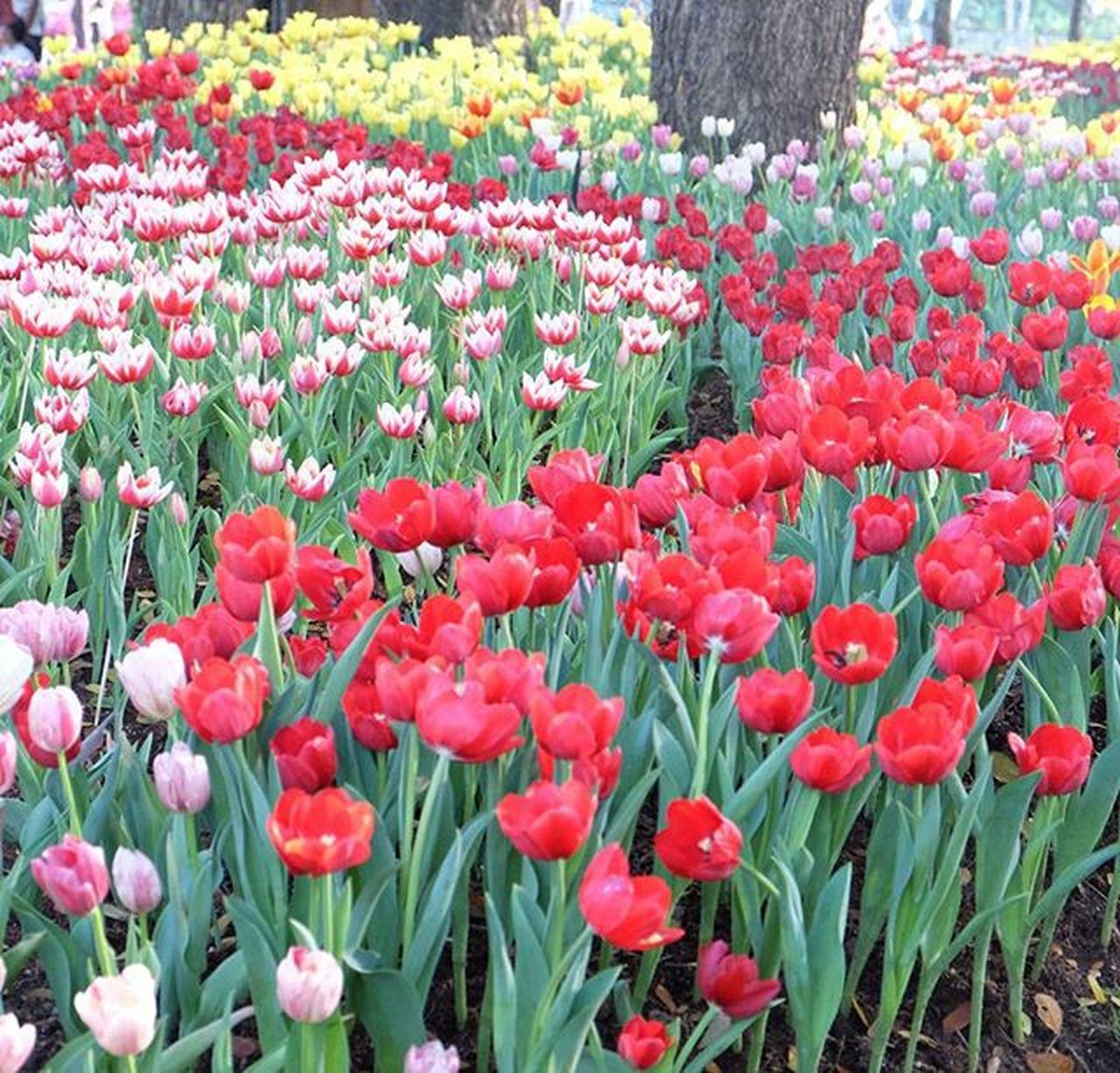 อยากไปอีก สวยๆ หอมๆ เชียงรายดอกไม้งามครั้งที่12 Tulips Colorful Colorful Tulips