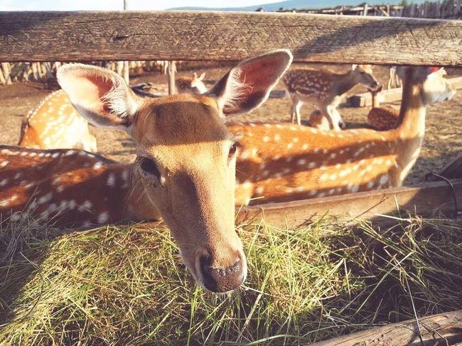 鹿鹿 Taking Photos Enjoying Life Anmial Traveling China Summertime Bestshot FUNNY ANIMALS