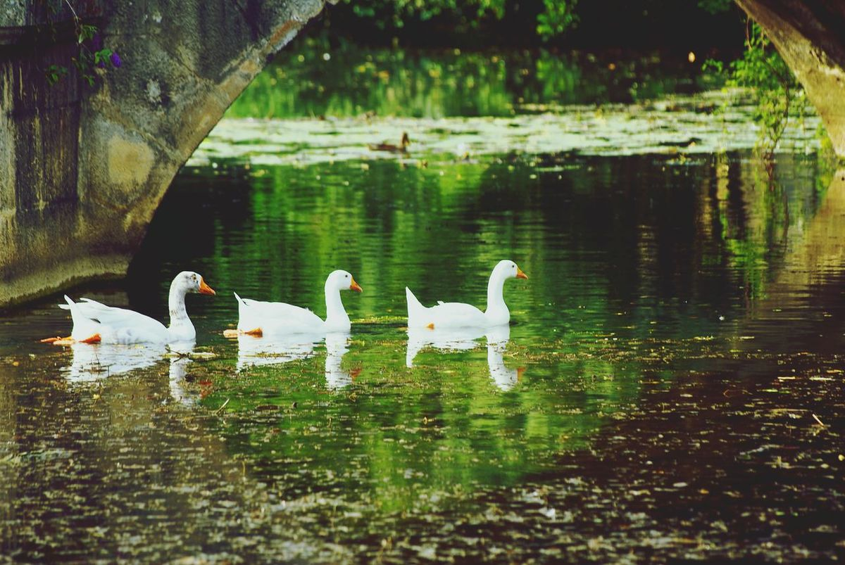 Tranquility Floating On Water Bird Wildlife Green Color Walking By The River Life In Motion
