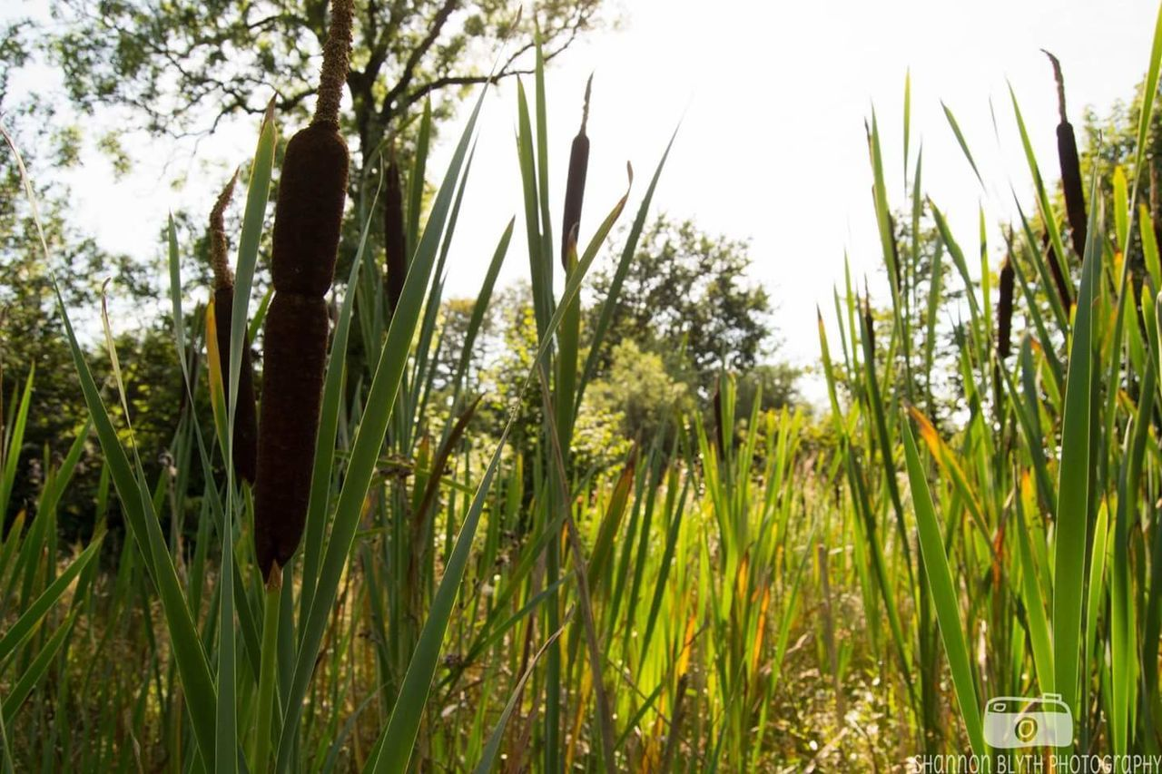 Growth Nature Tree Green Color Plant No People Tranquility Outdoors Day Sky Beauty In Nature Reeds Reeds By Water Bonnywood Bonnybridge Water Bonny Water Weeds Nature EyeEmNewHere