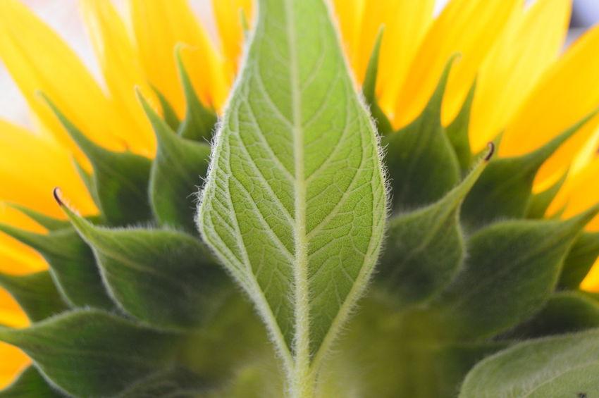 Backside Portrait Beauty In Nature Close-up Flower Flower Head Freshness Green Color Leaf Plant Sunlight