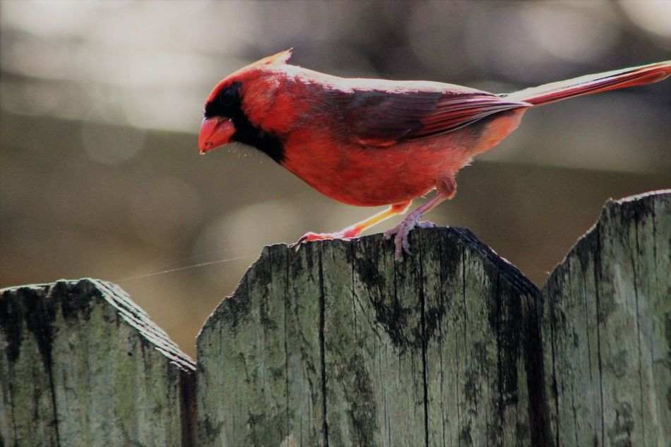 More birds in the back yard. all these shots were in about 2 minutes , the redbirds and the wren. Animal Themes Bird Canonphotography Close-up Day Fences Nature No People Outdoors Perching Red Color Redbird Things In My Back Yard Wren Canonphotography Manual Focus