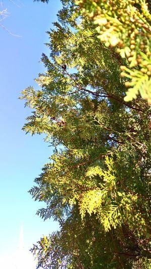 Mavi ve yeşil Tree No People Yellow Nature Low Angle View Sky Close-up Day Outdoors Beauty In Nature Mavic Rose - Flower Full Frame Maville Mavigökyüzü Mavic Pro Mavihuydurbende Mavi Mutluluk Backgrounds Beauty In Nature Branch Mavilacivertaşk Clear Sky Tree Blue