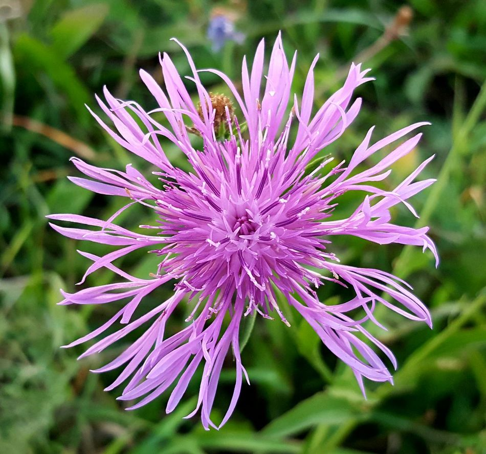 Simply Beautiful. Flower Beauty In Nature Purple Flower Head Close-up Outdoors No People Day Blooming Fragility Nature Enjoying Nature