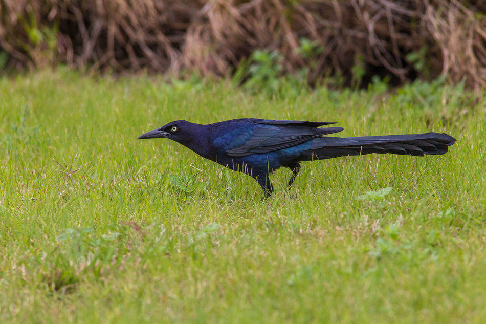 Animal Themes Animal Wildlife Animals In The Wild Beauty In Nature Beauty In Nature Bird Bird Photography Blue Bird Close-up Great-tailed Grackle Nature Nature Photography No People One Animal Quiscalus Mexicanus Wildlife & Nature Wildlife Photography
