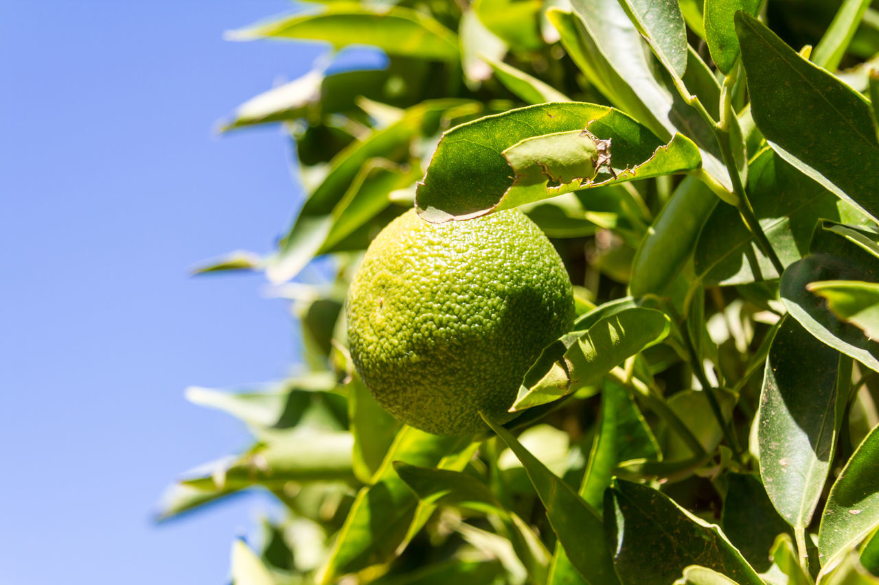 Citrus fruit growing Blue Sky Branch Citrus  Citrus Fruit Citrus Tree Close-up Day Focus On Foreground Food Food And Drink Freshness Fruit Green Color Growing Growth Leaf Lemon Mandarin Nature No People Outdoors Peel Shallow Depth Of Field Tree Unripe