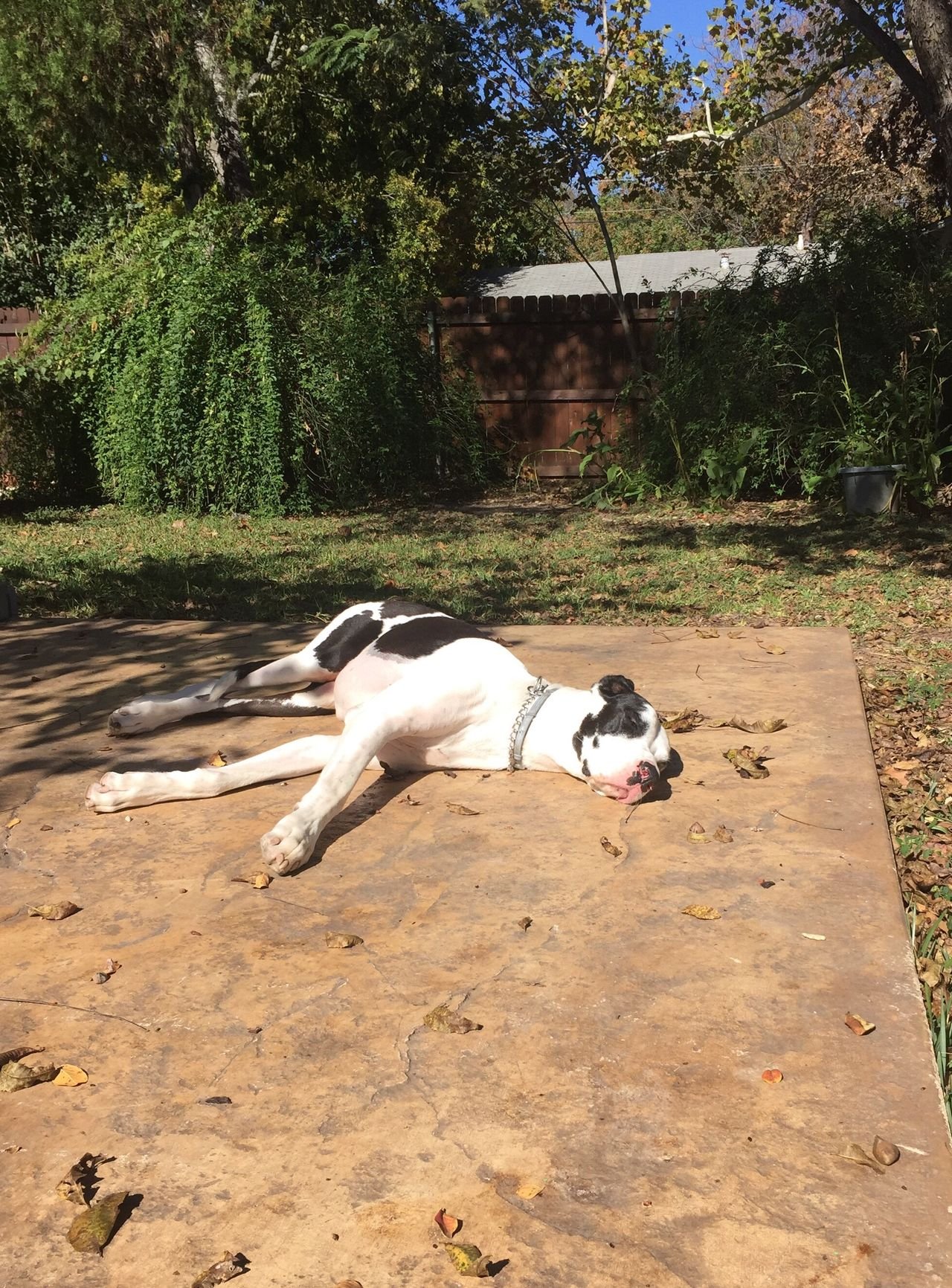 Enjoy The New Normal Dog Great Dane Great Danes Harlequin Harlequin Great Dane Sunbathing Sunbath Domestic Animals Pets Animal Themes Outdoors Nature The Purist (no Edit, No Filter)