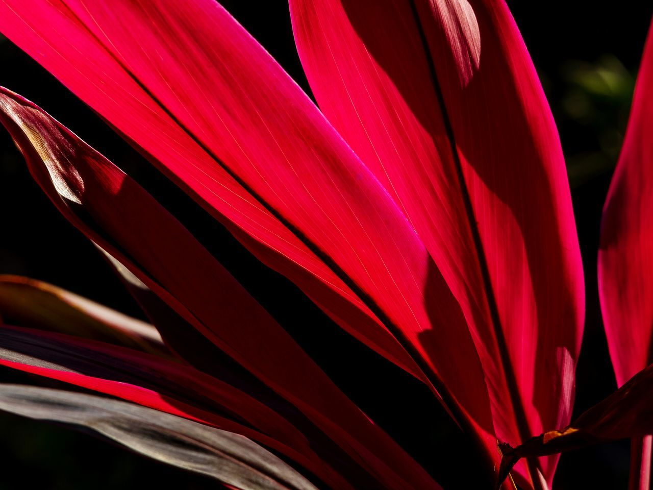 Close-up Red Growth Full Frame Leaf Leafs Photography Beauty In Nature No People Freshness Outdoors The Week Of Eyeem My Unique Style EyeEm Gallery Master ClassLeaf Veins Illuminated Silhouette_collection Artistic ExpressionTranquility Abstract Photography Plant Getting Inspired Original Experiences Tranquil Scene Growth