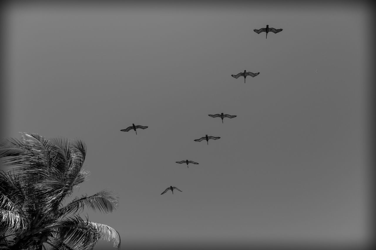 Love is a Beach Bird Blackandwhite Photography Day Flying Formation Fujifilm_xseries Lookingup Mid-air Minimalism No People Outdoors Palm Tree Pelicans Photographyisthemuse Sky
