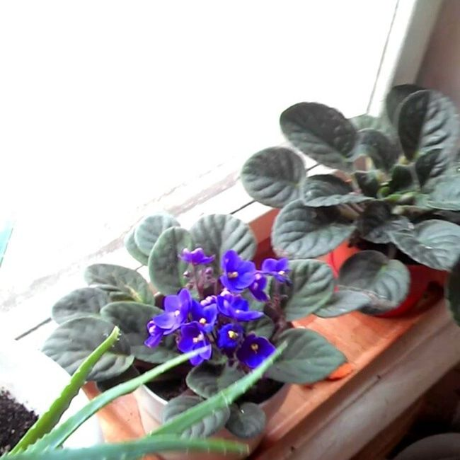 Flowers Flower Flowersofinstagram 2014 Instaflower Instaflowers цветок  цветы Flowersagram Instagramflowers сенполия Senpolia