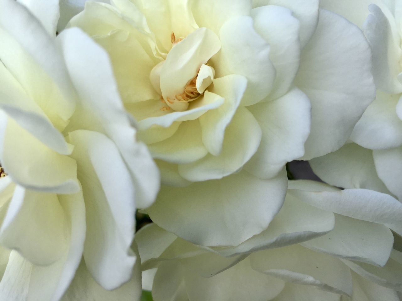 Macro Shot Of Rose Flower
