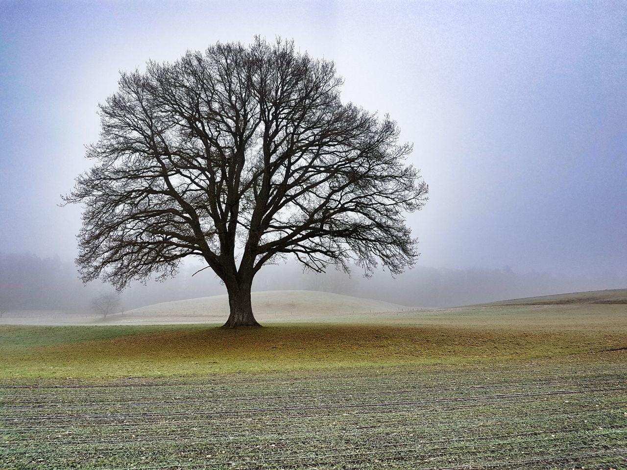 Single Tree Tree Field Outdoors Grass Landscape No People Tranquility Beauty In Nature Nature Sky Fog