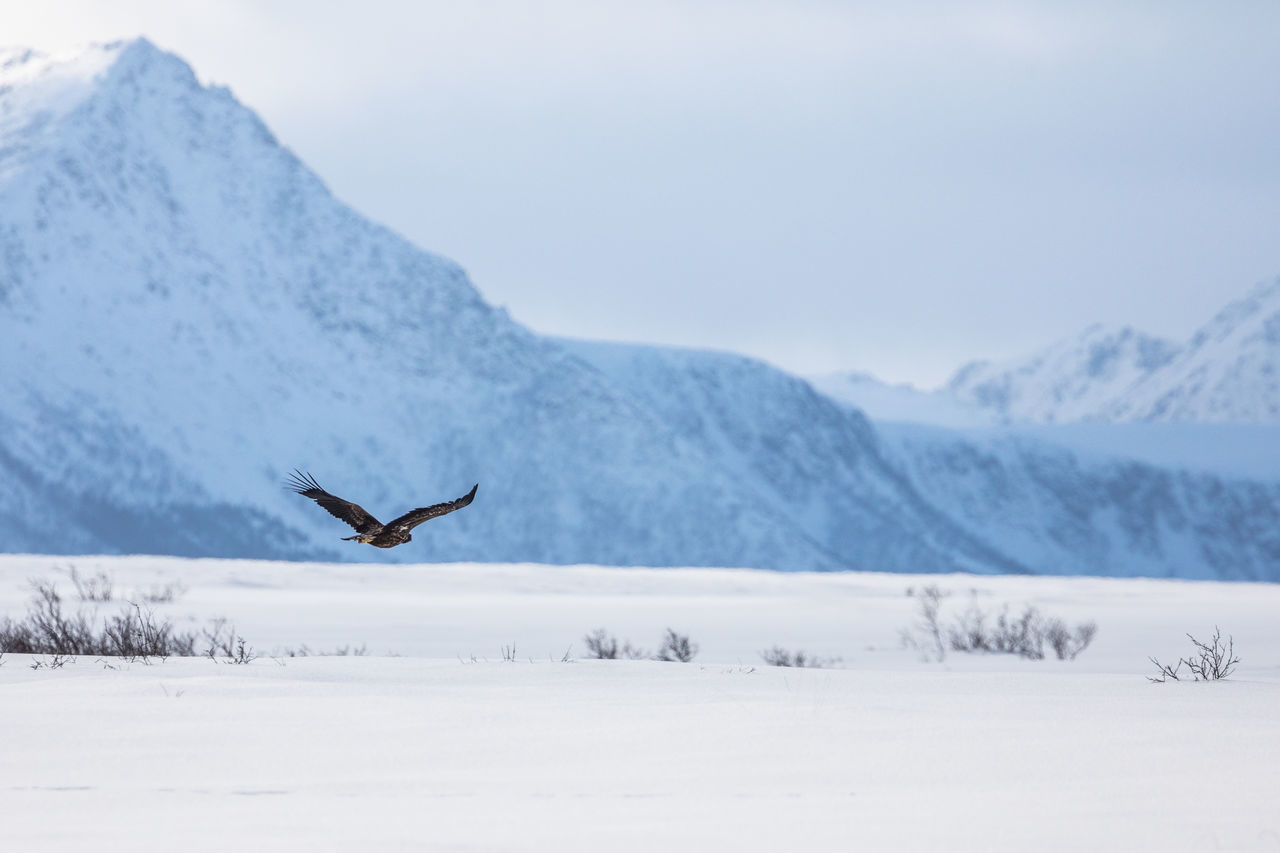 Animal Themes Animal Wildlife Animals In The Wild Beauty In Nature Bird Cold Temperature The Great Outdoors - 2017 EyeEm Awards Eagle Landscape Mid-air Mountain Mountain Range Nature No People Norway One Animal Outdoors Raptor Scenics Sky Snow Spread Wings Vesterålen White Tailed Eagle Winter