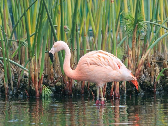 EyeEm Selects Flamingo Water Bird Animal Wildlife Reflection One Animal Lake Animals In The Wild Pink Color Drinking Nature Side View Full Length Marsh Outdoors Portrait No People Day Animal Themes Beauty In Nature Lake First Eyeem Photo