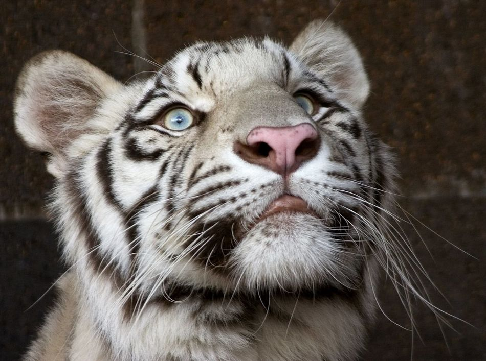 Animal Head  Animal Themes Animal Wildlife Animals In The Wild Close-up Day Feline Mammal Nature No People One Animal Outdoors Tiger Whisker White Tiger