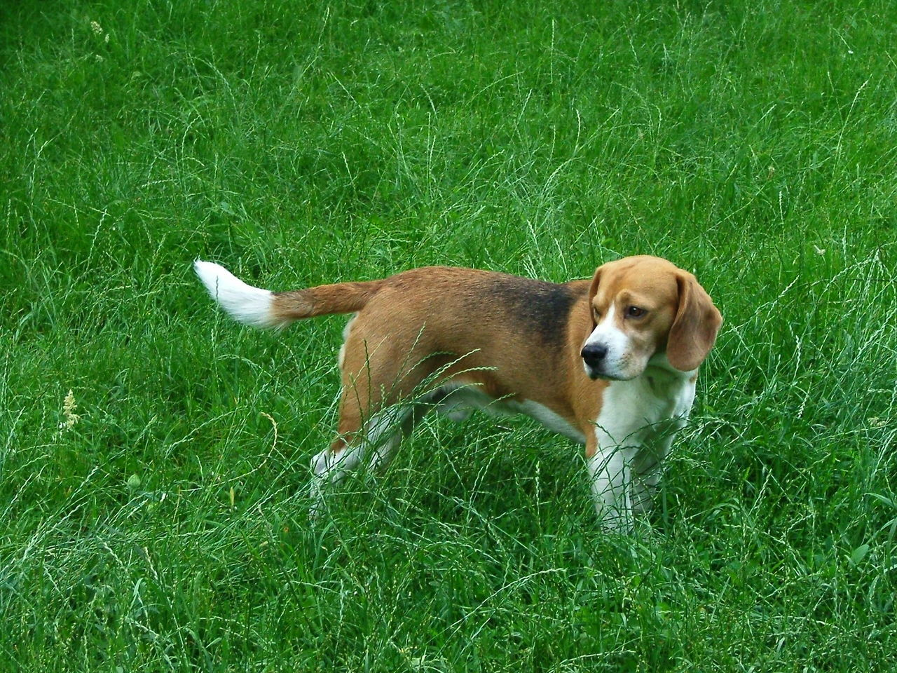 Animal Beagle Beaglelove Beaglelovers Beagleoftheday Beagles  Betyár Dog Domestic Animals Mybeagle One Animal Pets Raskal