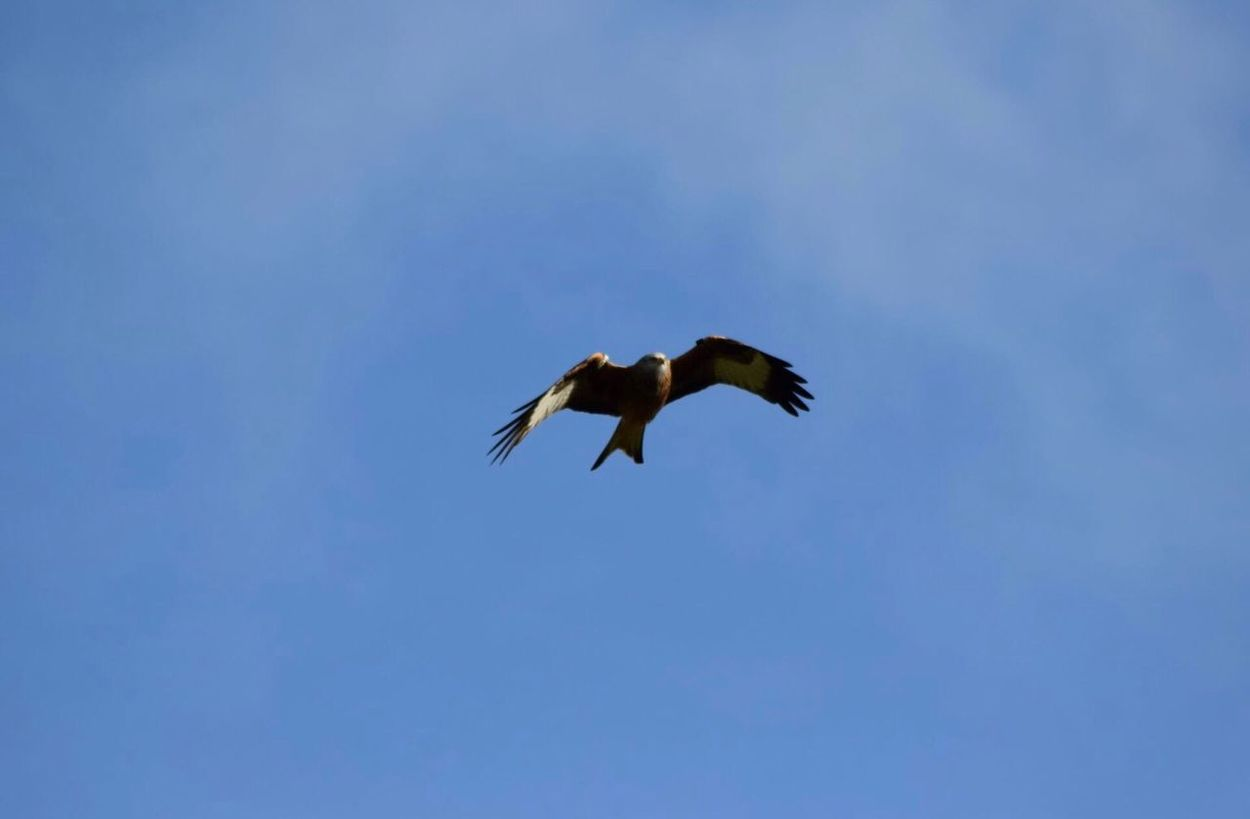 Sky Outdoors Redkite Spread Wings Low Angle View Flying Bird Animals In The Wild Blue Clear Sky Animal Themes One Animal Animal Wildlife