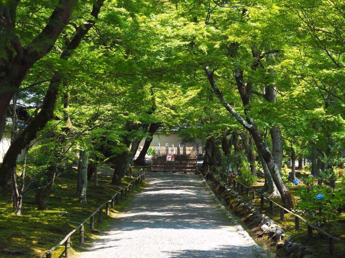 Kyoto Japan Arashiyama Hogonin Temple Tree Nature Beauty In Nature Growth Outdoors Way Summer Day Healing Olympus PEN-F 京都 日本 嵐山 宝厳院 青紅葉のトンネル