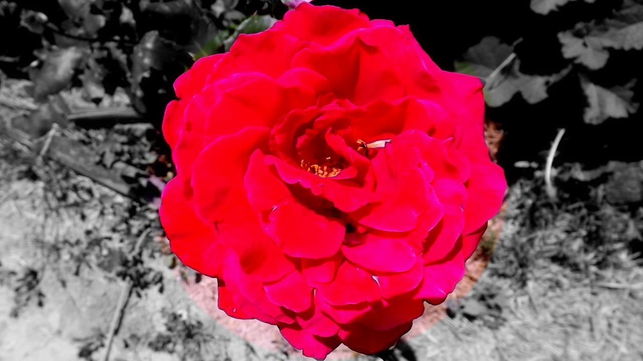 Red Flower Red Roses Single Rose Rose - Flower Rose Collection Editing Photos Bright Rose Editing For Fun Center Focus Single Object Flower Photography
