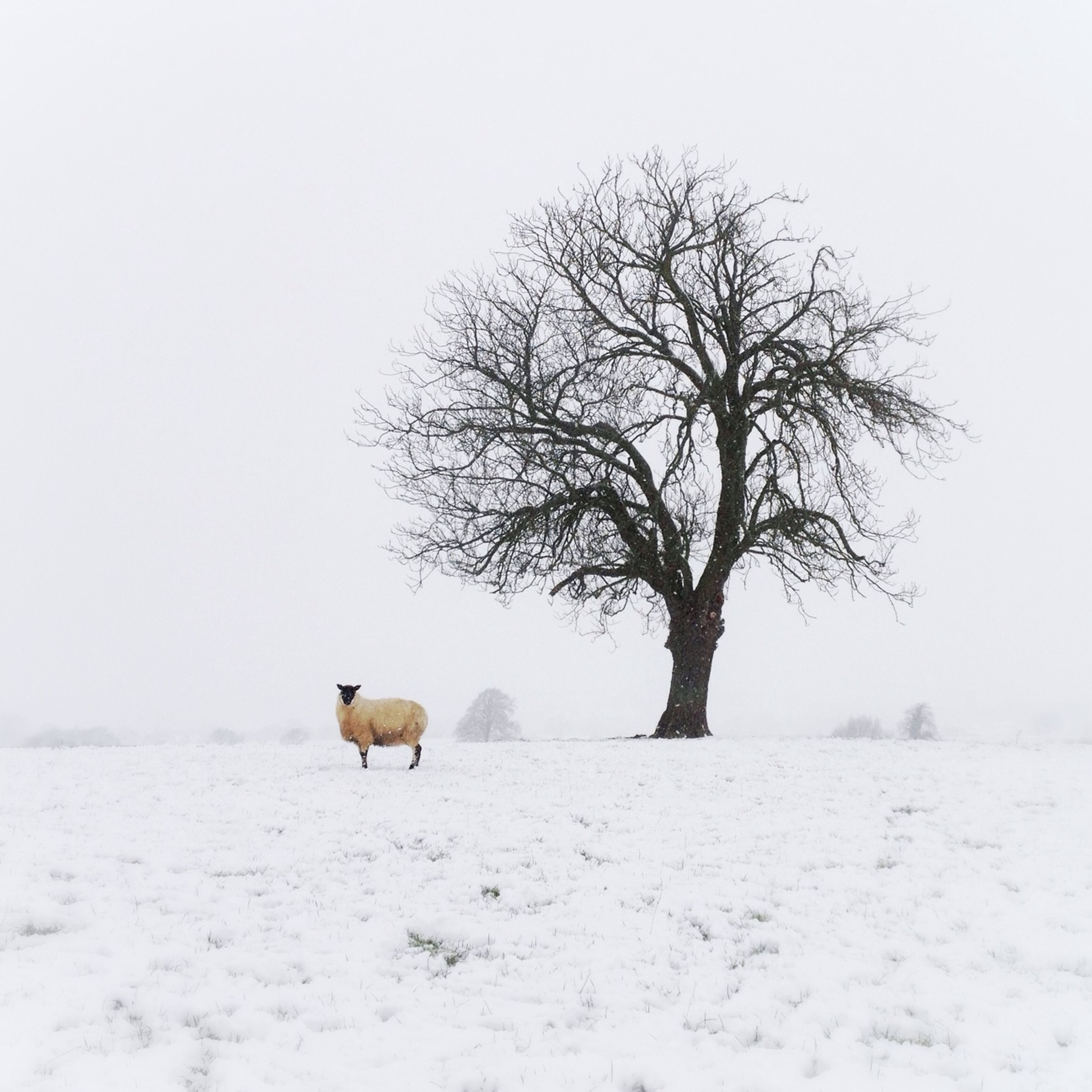 snow, winter, cold temperature, animal themes, season, weather, bare tree, tree, field, landscape, clear sky, one animal, covering, mammal, nature, tranquility, wildlife, tranquil scene, animals in the wild, white color