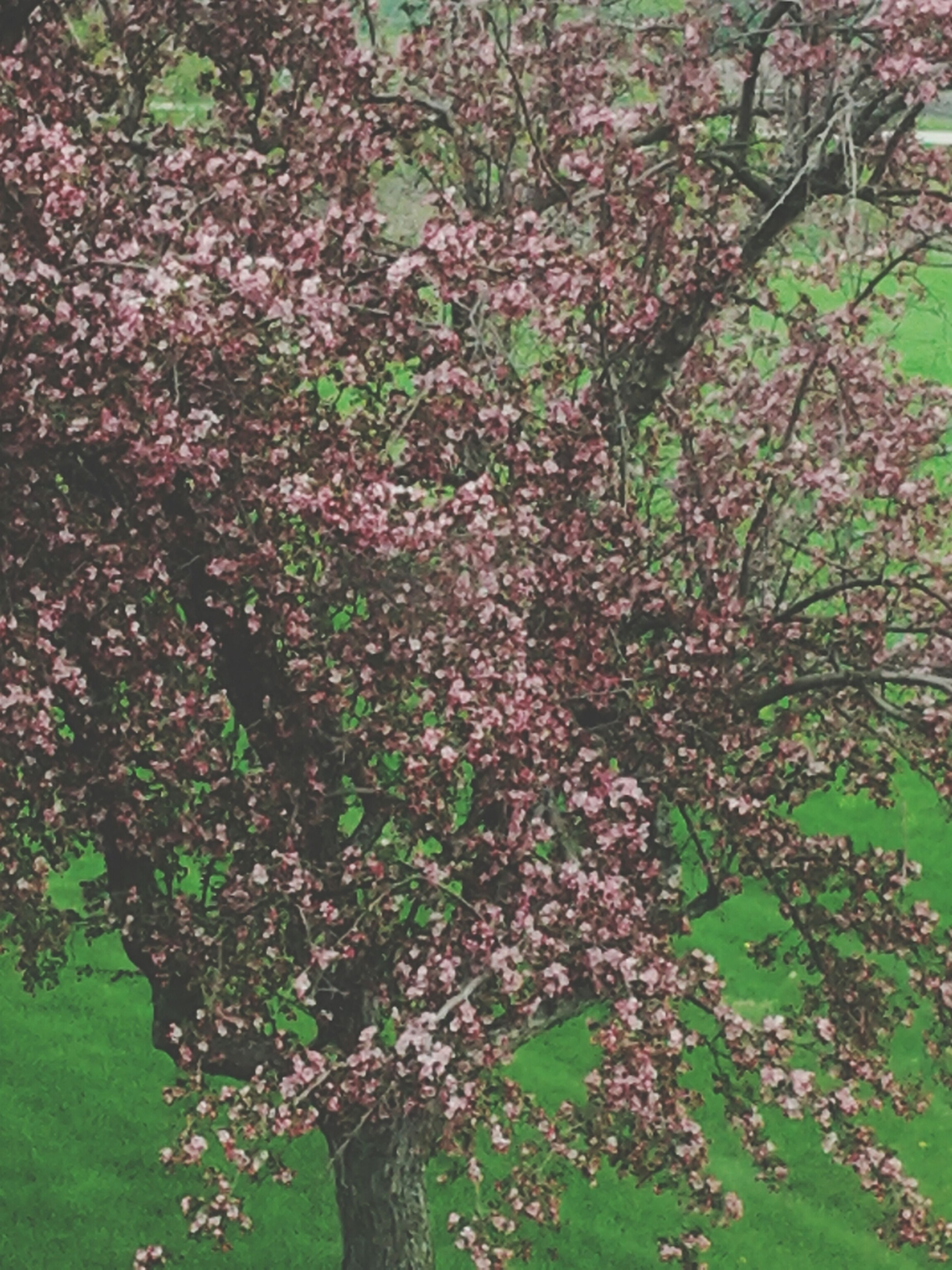 growth, flower, tree, freshness, beauty in nature, nature, plant, branch, green color, park - man made space, leaf, tranquility, fragility, blossom, pink color, blooming, day, outdoors, growing, in bloom