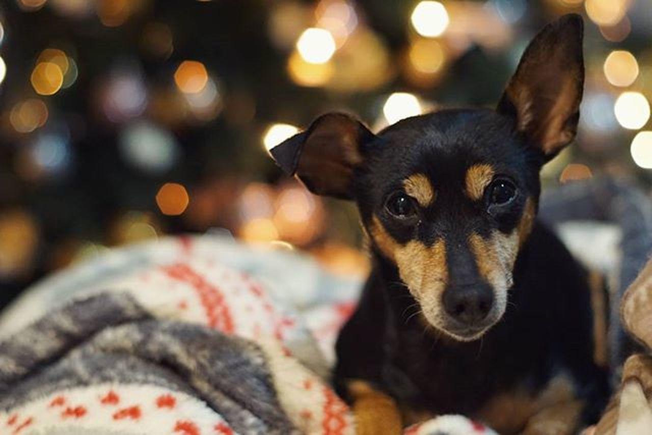 Xmas Rescue Rescuedog Minipin Zwergpinscher Minipin Pincher Puppy Cutedog Happy Chiuaua Pet Doglover