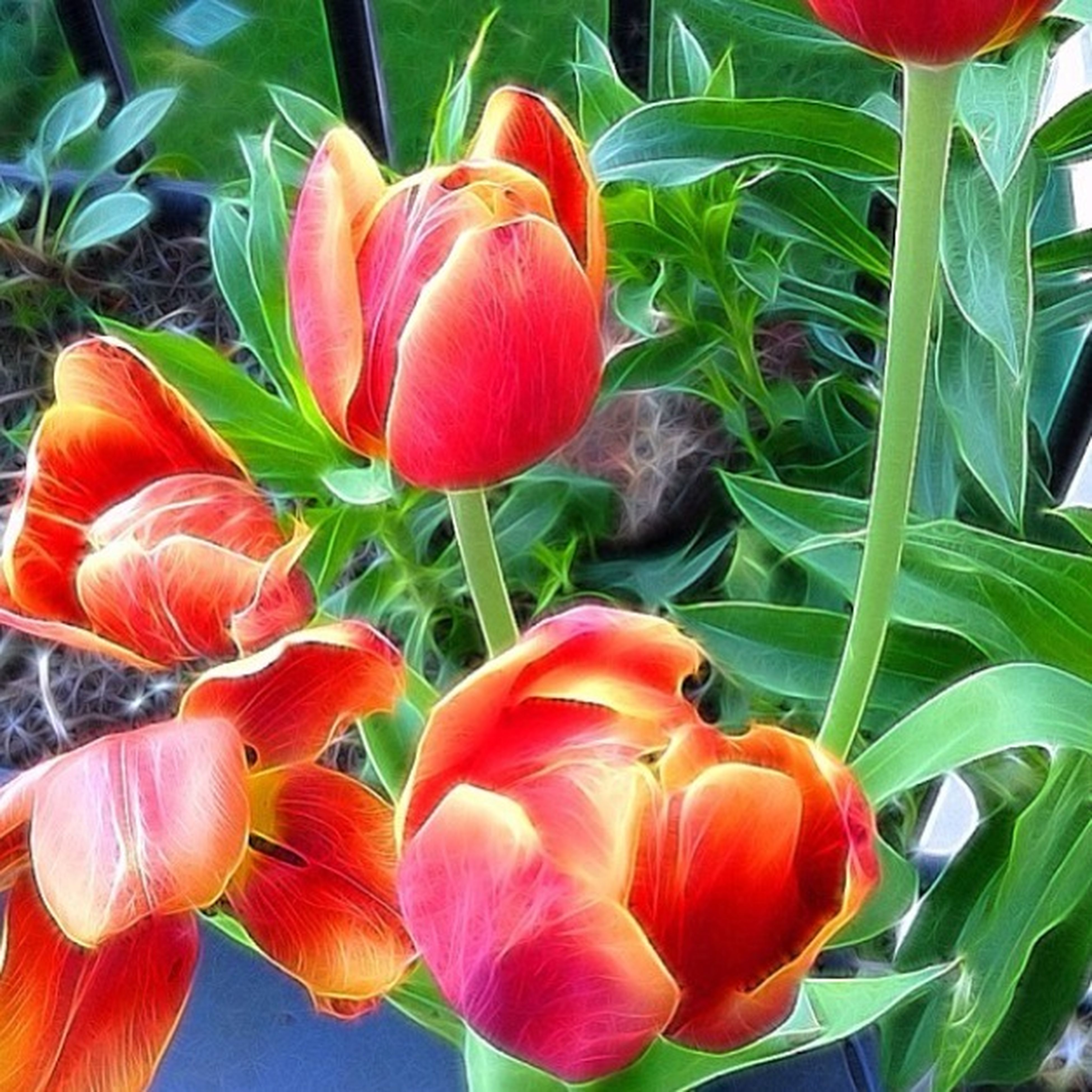 freshness, flower, tulip, growth, red, petal, fragility, beauty in nature, plant, flower head, nature, leaf, blooming, orange color, close-up, stem, green color, field, no people, day