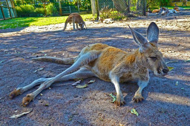 Kangaroo WesternAustralia Caversham Nikonphotography Nikon Nikond90 D90photography Hanging Out Check This Out Cheese! Relaxing Taking Photos Touristspot Traveling Walkabout Photography Photowalk Eyemphotography Hdrphotography HDR HDR