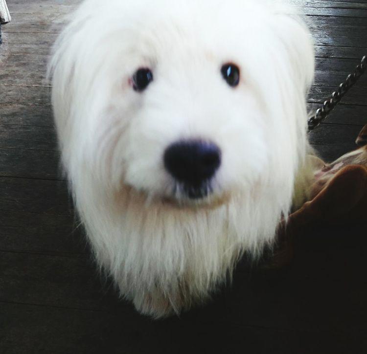 Beloved puppy~ Looking At Camera Pets Dog One Animal Whitepuppy First Eyeem Photo