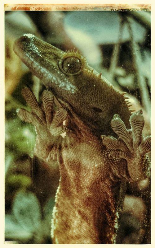 Neukaledonien Pets Haustier Gecko Gekko Kronengecko Crested Gecko