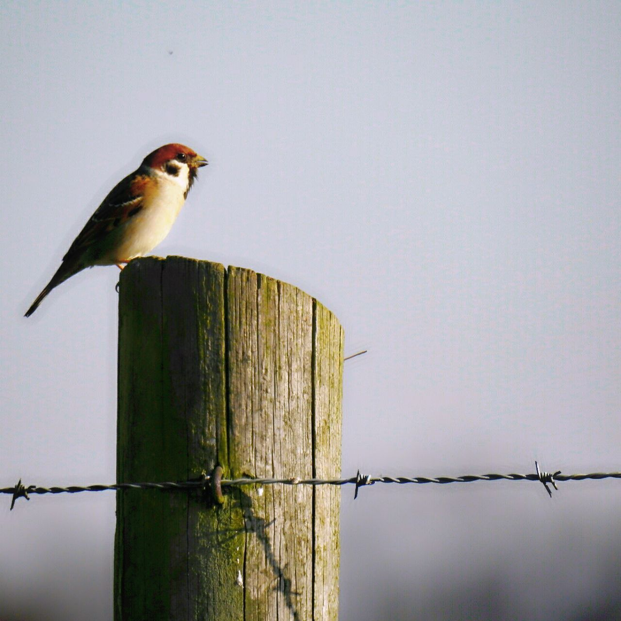 Sparrow Wood - Material Bird Wooden Post One Animal Animal Themes Outdoors Perching Animal Wildlife Sunlight Nature Animals In The Wild Sky Check This Out Close-up Doğa EyeEm Masterclass Turkey Germany Outdoor Photography EyeEm Gallery GERMANY🇩🇪DEUTSCHERLAND@Photography Beautiful Focus On Foreground
