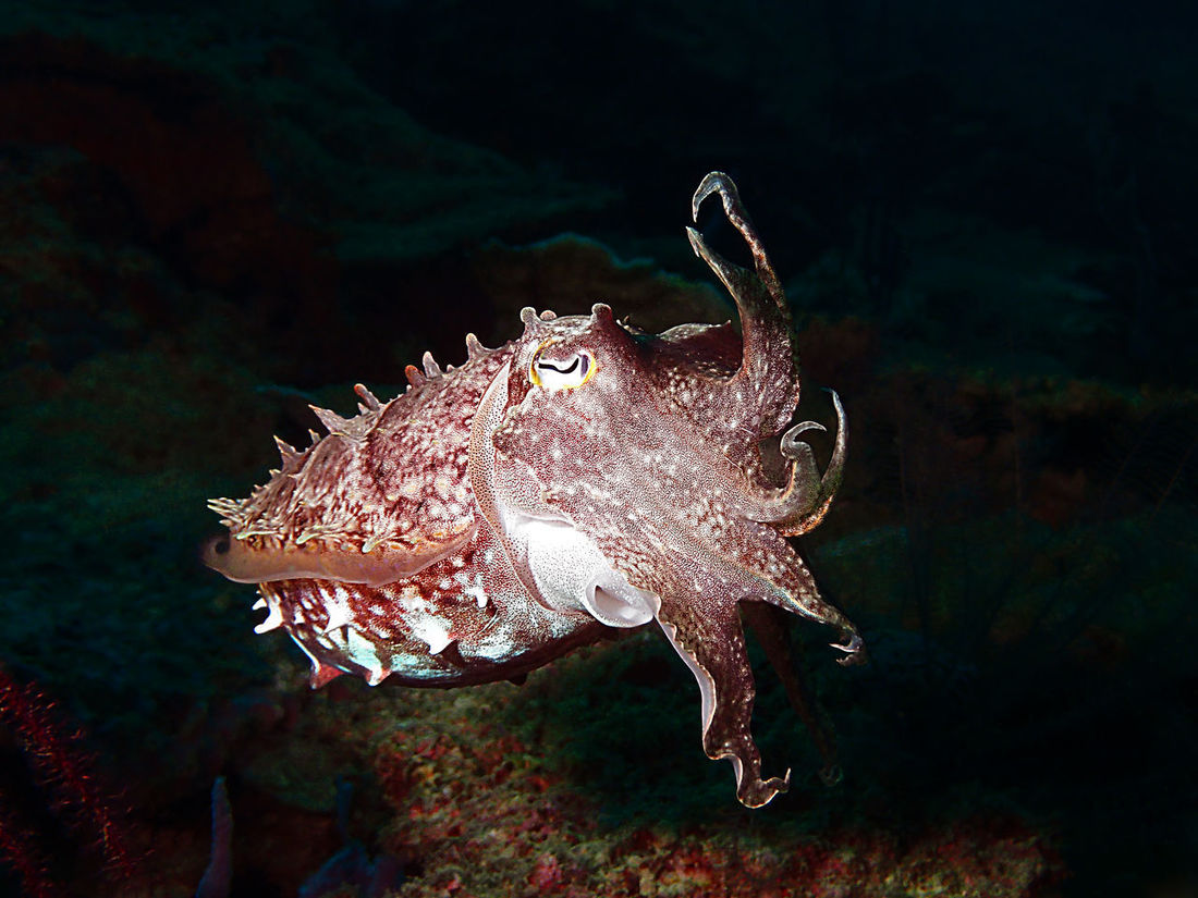 Cuttlefish Animals In The Wild Animal Wildlife Animal Themes Underwater UnderSea Cuttlefish SCUBA Scubadiving Scuba Diving Underwater Photography Underwater Camera Nature Sea Life Marine Life Animals In The Wild Beauty In Nature
