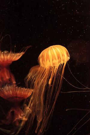 Gold with dark stripes Japanese sea nettle jellyfish Chrysaora pacifica in an aquarium Chrysaora Pacifica Golden Gorgon Japanese Sea Nettle Jelly Fish Jellyfish Medusa Ocean Saltwater Sea Sea Nettle Stripes Pattern Tentacles Underwater